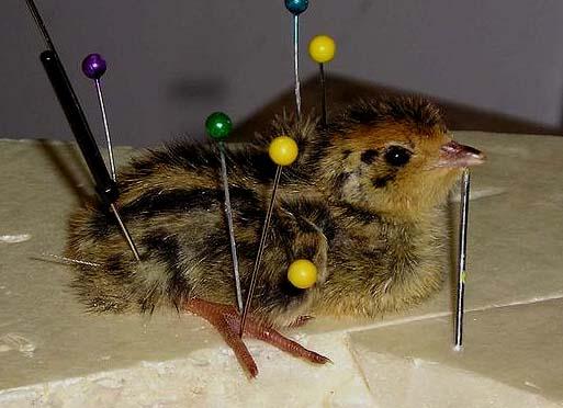 Chicks in taxidermy. Quail Chicks